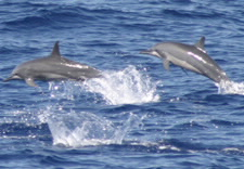 Image of two Spinner Dolphins. Click for larger image.