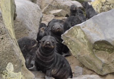 Photo of Northern fur seal pups on St. Paul Island.